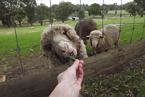 Feeding the sheeps