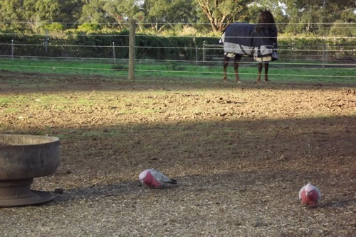 Galah Cockatoo on the Farm