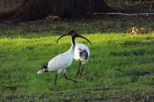 Australian White Ibis